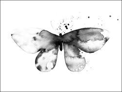 Papilio somnia